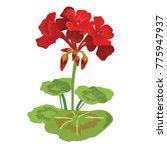 geranium flower  eps 10 file  | Shutterstock .eps vector #775947937