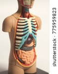 Small photo of Human Body Anatomy Model isolated on white background