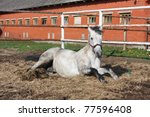 Gray Horse Lying On The Ground
