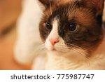 Domestic Snowshoe Cat
