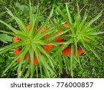 blooming crown imperial in... | Shutterstock . vector #776000857