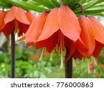 blooming crown imperial in... | Shutterstock . vector #776000863