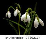 Spring Snowdrop Flowers On...