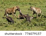 spotted hyenas and white backed ... | Shutterstock . vector #776079157