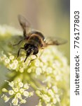 Small photo of Hover-fly, Hoverfly, Fly, Flies