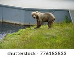 Small photo of Kodiak Island Alaska Brown Bear and Cubs at Frazier Lake Salmon Fishing