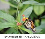 a monarch butterfly on the... | Shutterstock . vector #776205733