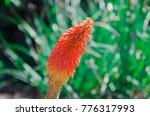 orange red and yellow flower... | Shutterstock . vector #776317993