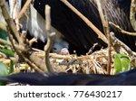 magnificent frigatebird ... | Shutterstock . vector #776430217