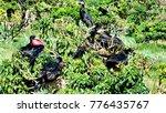 male magnificent frigatebirds ... | Shutterstock . vector #776435767