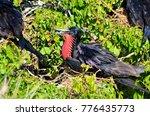 male magnificent frigatebirds ... | Shutterstock . vector #776435773
