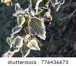 Frost On Leaves Of Urtica...