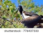 female magnificent frigatebird  ... | Shutterstock . vector #776437333