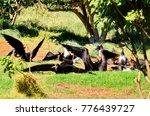 magnificent frigatebird ... | Shutterstock . vector #776439727