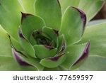 A Hen And Chicks Succulent...