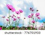 cosmos pink flowers blooming in ... | Shutterstock . vector #776701933