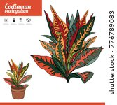 exotic plant codiaeum isolated... | Shutterstock .eps vector #776789083