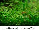 shrimp and fishes in aquarium... | Shutterstock . vector #776867983