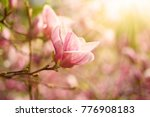 blossoming of pink magnolia... | Shutterstock . vector #776908183