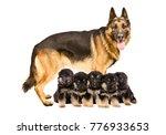 german shepherd dog  standing... | Shutterstock . vector #776933653