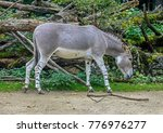 Small photo of African wild ass. Latin name - Equus africanus