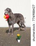 scottish deerhound  most... | Shutterstock . vector #776988427