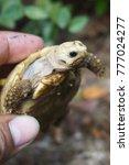 elongated tortoise in the... | Shutterstock . vector #777024277