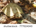 elongated tortoise in the... | Shutterstock . vector #777024343
