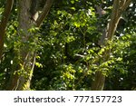 balsam of peru tree and leaves  ... | Shutterstock . vector #777157723