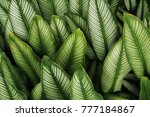 green leaf with white stripes... | Shutterstock . vector #777184867