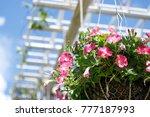 beautiful petunia flowers in... | Shutterstock . vector #777187993