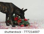 curious hollandse herder dog... | Shutterstock . vector #777216007