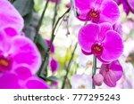 purple phalaenopsis orchid... | Shutterstock . vector #777295243