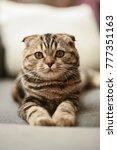 Stock photo small brown striped scottish fold kitten cat hanging out around the house napping with folded ears 777351163