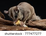 Sugar Glider Possum Eating Corn