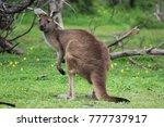 baby kangaroo in conservation...   Shutterstock . vector #777737917