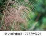 closeup of reed flower | Shutterstock . vector #777794107