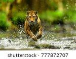 siberian tiger  panthera tigris ... | Shutterstock . vector #777872707