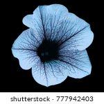 light blue flower petunia on... | Shutterstock . vector #777942403