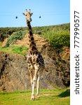 giraffe in cabarceno natural... | Shutterstock . vector #777990577