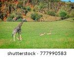 giraffe in cabarceno natural... | Shutterstock . vector #777990583