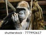 gorilla in cabarceno natural... | Shutterstock . vector #777992617