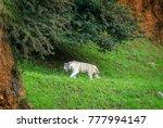 tiger in cabarceno natural park ... | Shutterstock . vector #777994147