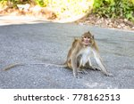 The Rhesus Macaque  Monkey  By...