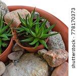 Small photo of Haworthia attenuate – small succulent houseplant