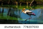 a painted stork searching its...   Shutterstock . vector #778207033