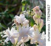 Tuberose Flower In A Garden At...