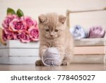 scottish fold kitten playing...   Shutterstock . vector #778405027