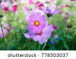cosmos flowers blooming in the...   Shutterstock . vector #778503037