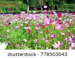 cosmos flowers blooming in the...   Shutterstock . vector #778503043